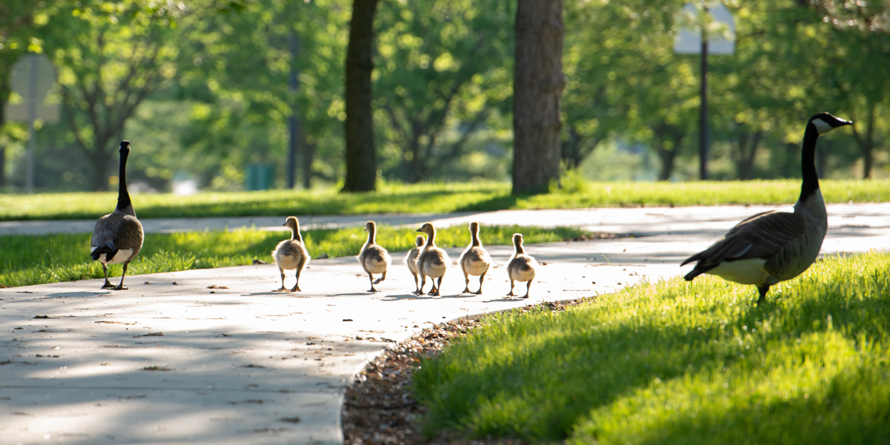 Geese on campus at SIUE.